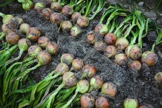 収穫後の玉ねぎイメージ