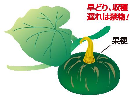 収穫の目安1