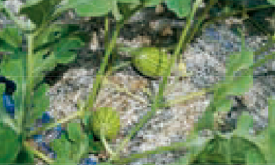 交配期の雌花