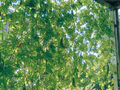 緑のカーテン01