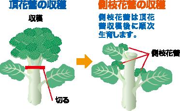 頂花蕾の収穫