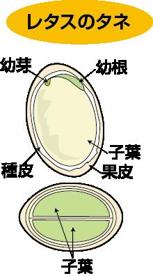 レタスの種