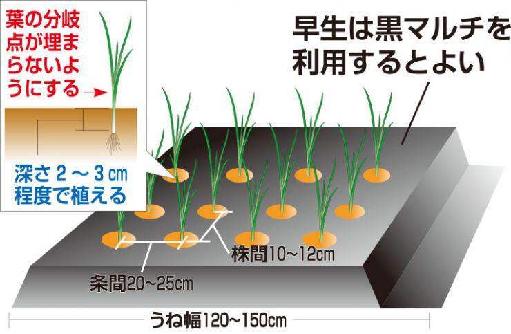 玉ねぎ定植の図解
