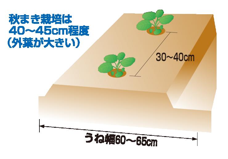 キャベツの定植