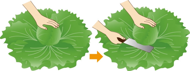 玉レタスの収穫