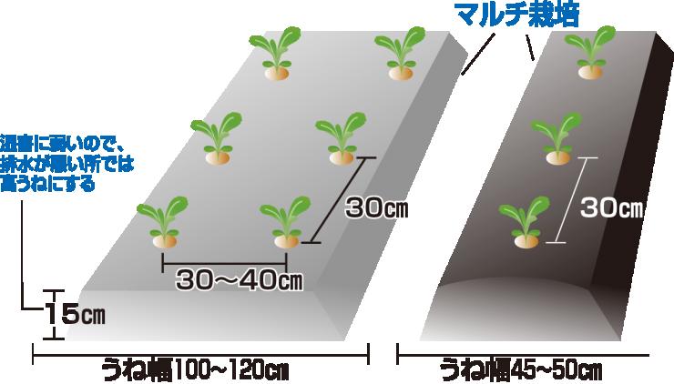 玉レタスの定植
