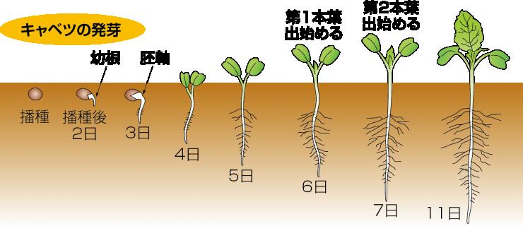 キャベツの発芽