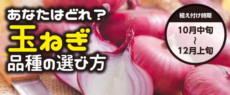 玉ねぎ苗品種の選び方