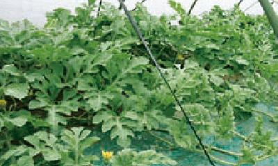 交配季の草姿
