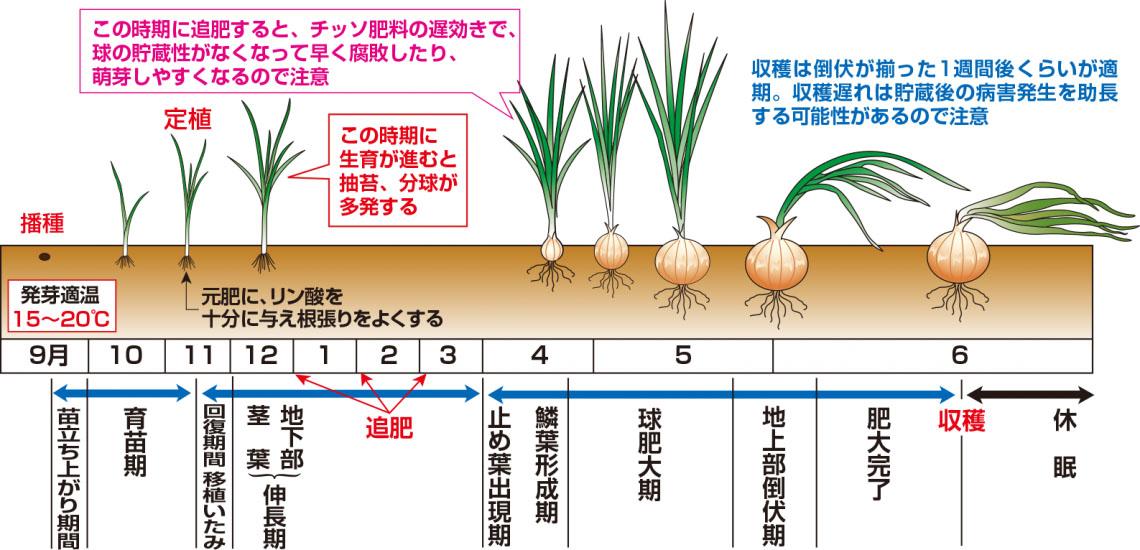栽培 肥料 玉ねぎ