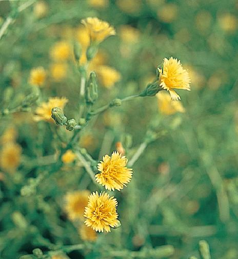 レタスの花芽文化