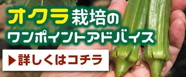 摘葉 オクラ
