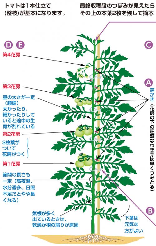 栽培 方法 トマト ミニ