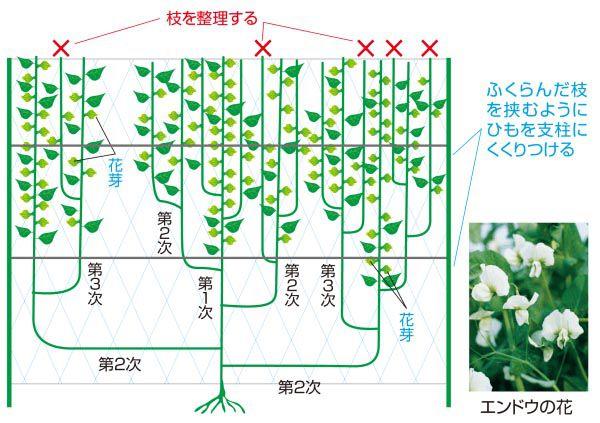 豆 の 栽培 エンドウ