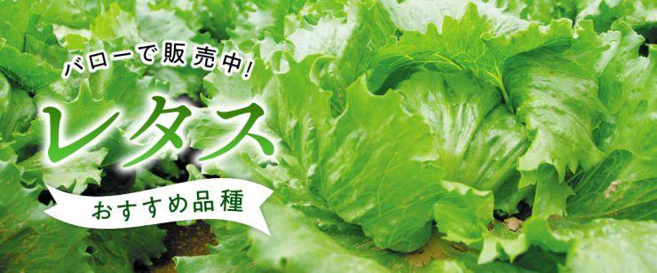 レタスおすすめ品種