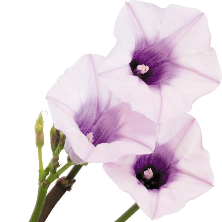さつまいもの花
