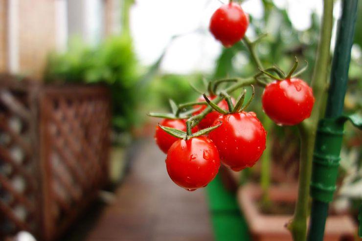 連作障害が起こりがちなトマト