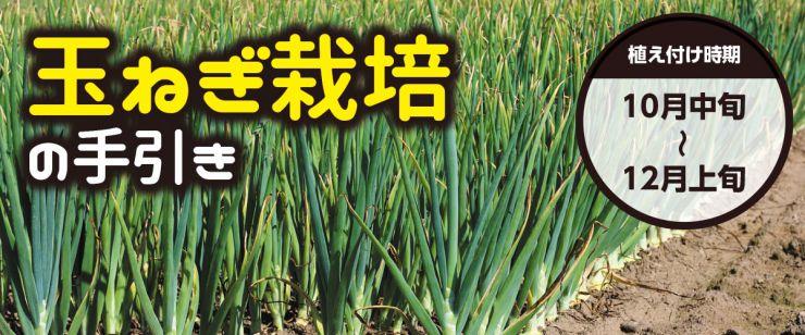 玉ねぎ栽培の手引き