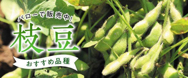 枝豆おすすめ品種