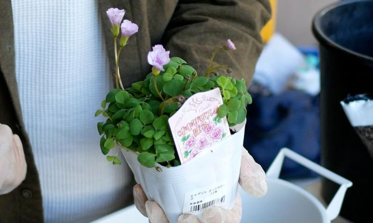 八重咲きのオキザリス