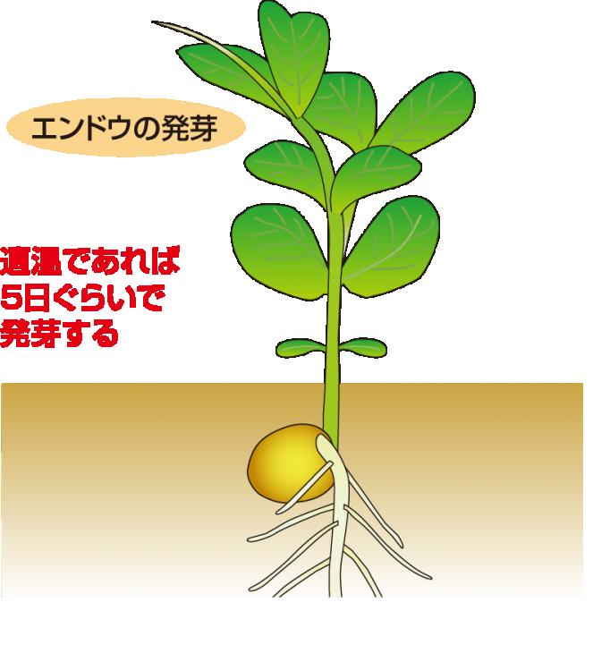 エンドウの発芽