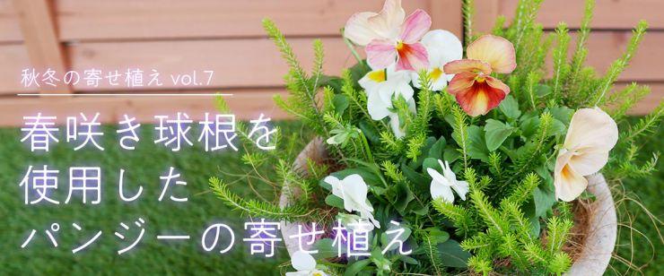 春咲き球根を使用したパンジーの寄せ植え