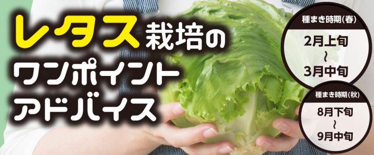 レタス栽培ワンポイントアドバイス