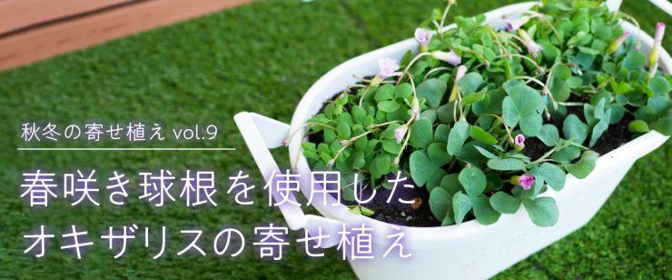 春咲き球根を使用したオキザリスの寄せ植え