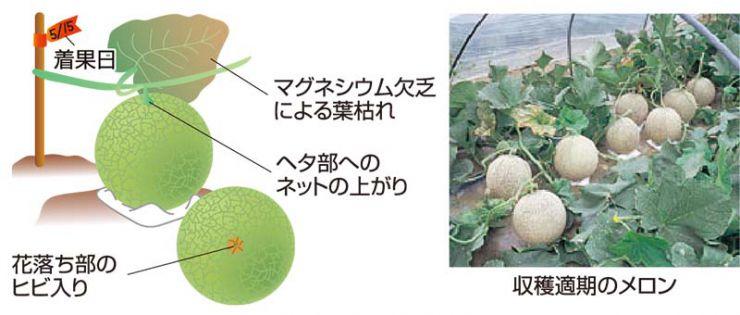 収穫適期のメロン